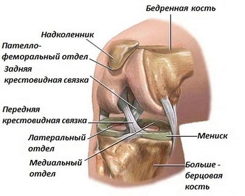 Схематическое строение коленного сустава